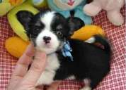 Lindo mini toy chihuahua cachorros para lala adopcion