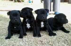 Cachorros staffie para la adopcion