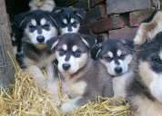 Regalo de cachorros de pomerania enanos con pedigr