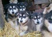 Venta de perros alaskan malamute
