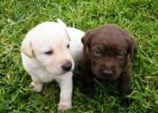 Perritos lindos labrador retriever disponibles