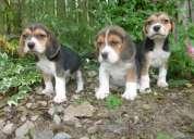 Cachorros tri color beagles listo ahora