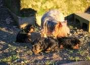 cachorros de yorkshire terrier con muy buen pedigree