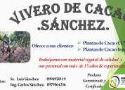 Venta de plantas de cacao ccn-51 y injerto
