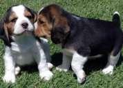 Tricolor beagle cachorros