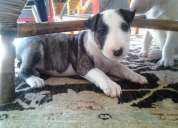 Miniatura bullterrier cachorros con pedigree loe