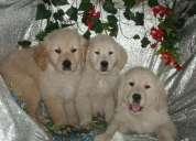 cachorros bichón frisé, perros, cachorros, criadero, venta, tiend