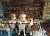 Beagle hermosos cachorros en venta