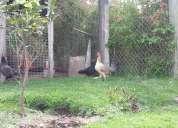 gallos y gallinas finas