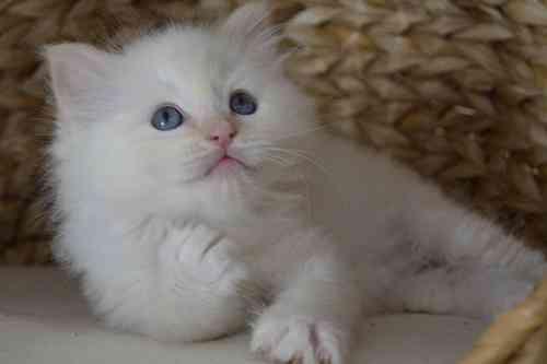 Pedigree hermosa Ragdoll gatito