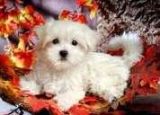 Bien entrenado teacup maltese puppies para la adopción