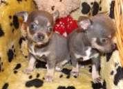 Capa lisa chihuahua cachorros