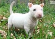 Regalo lindo bull terrier cachorros