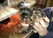 Regalo bonitos cachorros de yorkshire