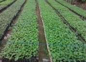 Venta de plantas forestales en vivero
