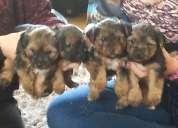 Yorkshire masculinos y femeninos pups