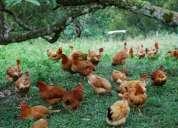 Vendo pollos pio pio