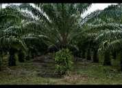 Palma africana en producción