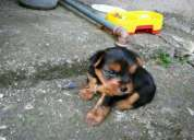 Vendo cachorro yorkshire terrier