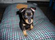 Vendo cachorro Pastor alemán Raza Pura (Negociable)