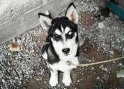 vendo husky siberiano hermoso amigable