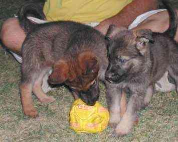 Vendo cachorros pastor gris puros