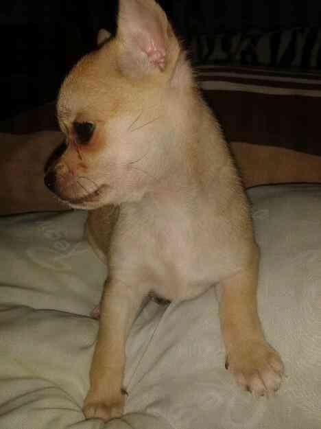 Vendo Chihuahua toy