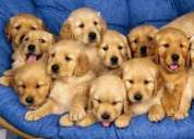 Vendo hermosos cachorros golden retriever,consultar!
