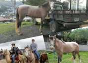Vendo caballo capón de 5 años muy ágil y muy manso!!
