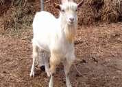 Vendo cabras puras lecheras raza saanen importadas crías 10 semanas