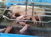 Lechones de excelente genetica para engorde!!!!