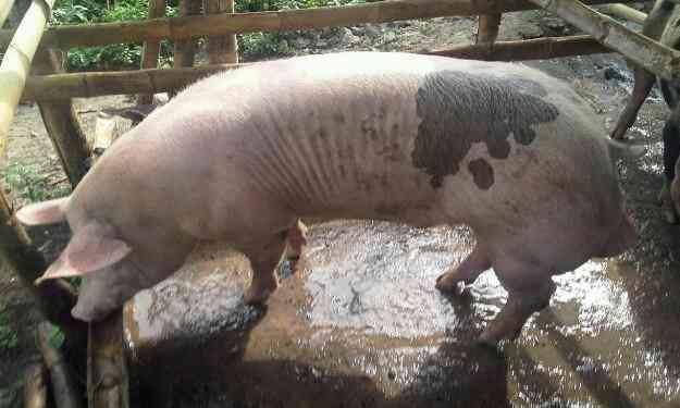 Vendo cerdo doble jamon reproductor