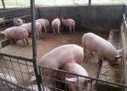 Venta de cerdos, chanchos,consultar!