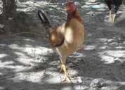 Vendo gallinas de calidad