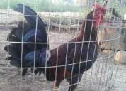 Vendo o cambio pollos por celular