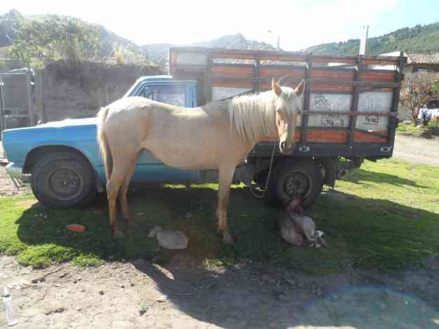Vendo caballos yegua