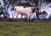 Vendo vacas,buenos precios!