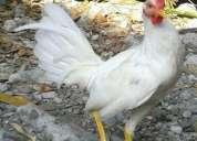Vendo pollos y pollas