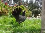gallos gallinas exelente ejemplares en genetica
