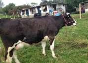 Excelente vacas holstein lecheras
