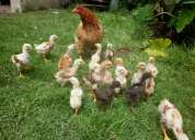 Vendo pollitos mejorar genetica
