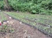Vendo plantas de palmito listas para sembrar