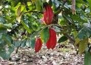 Se vende 4 hectareas de terreno de cacao en producciòn