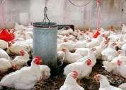 Pollos en pie al por mayor $1,05 lb