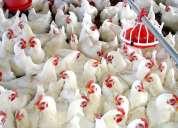Vendo pollos de engorde sin hormonas 100% alimento natural sin transgenicos