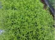 Vendo stevia de ecuador orgánica