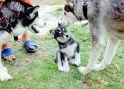Cachorro husky siberiano 100% puro