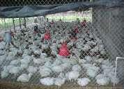 Distribuidores de pollos pelados a domicilio
