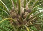 Regalo finca con palma africana, en producciòn !!!