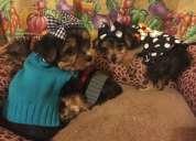 Regalo navidad cachorros toy, de yorkshire terrier